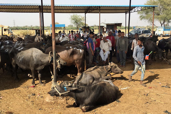 A buffalo market in central Rajasthan, India. Drivers ferrying these animals to slaughterhouses have been intercepted and accused of transporting cows, an animal many Hindus consider sacred. A new report from Human Rights Watch says that this devotion to protecting the cow has contributed to recent vigilante violence.