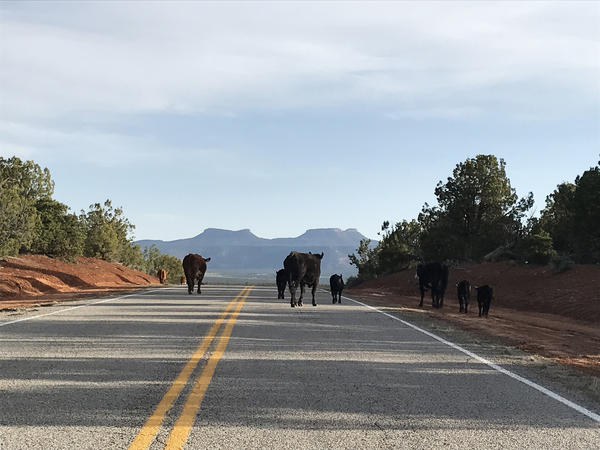 Cattle roam on federal public land beneath the Bears Ears buttes in Utah. When he arrives in rural Utah this weekend, Interior Secretary Ryan Zinke is expected to get an earful about the controversial designation of the Bears Ears National Monument.