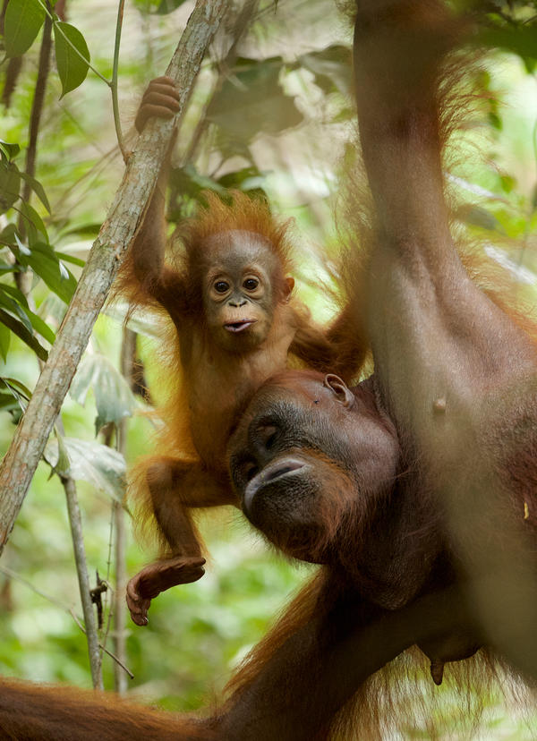 An orangutan mother and her 11-month old infant in Borneo. Orangutans breast-feed offspring off and on for up to eight years.