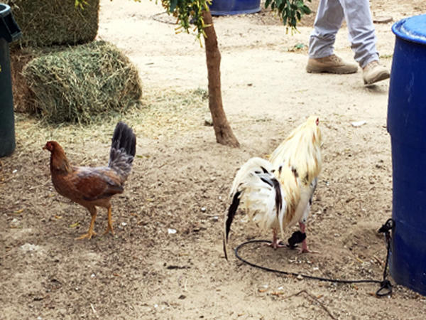 In what authorities call the largest raid against illegal cockfighting in United States history, 7,000 birds were seized in Val Verde, Calif., on Monday.