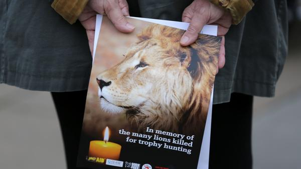 A pamphlet showing an image of Cecil the lion at a vigil in central London last year. After Cecil was killed by an American dentist and trophy hunter in Zimbabwe, the lion's story went viral online.