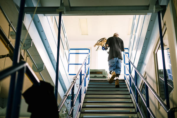 Rodney Stotts carries Sky, a rehabilitated hawk, up the stairs at the Matthew Henson Center.
