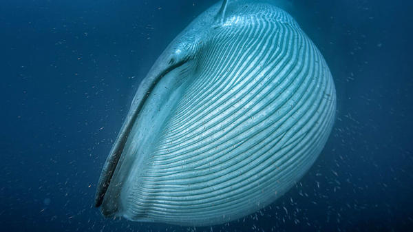 A blue whale, the largest animal on the planet, engulfs krill off the coast of California.