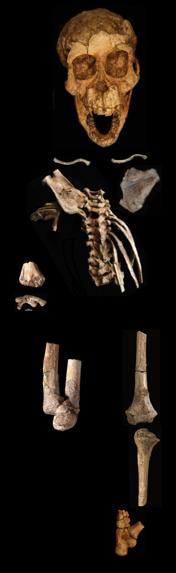 The full skeleton of Selam, including the spinal column.