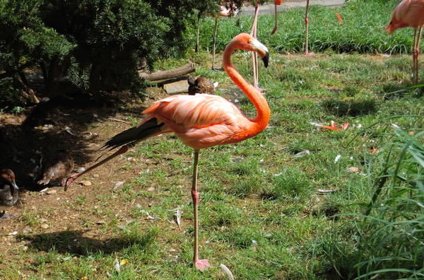 Scientists have now shown that this position requires almost no muscle activity from the flamingo.