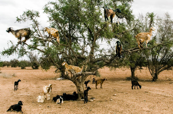 Goats climb an argan tree in Morocco to dine on its fruit.