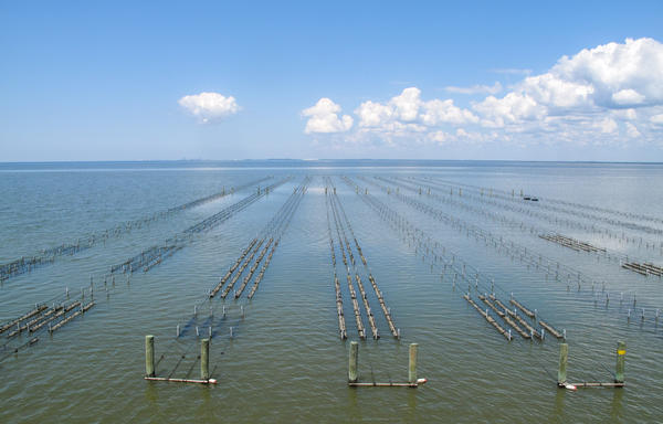 The farm uses the Australian long line system. The oysters grow off-bottom in baskets that are strung between wooden piling and PVC pipes.