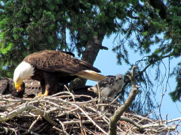 An eagle family has adopted a baby red-tailed hawk in British Columbia, but scientists are not sure how much longer these natural enemies can live in harmony.