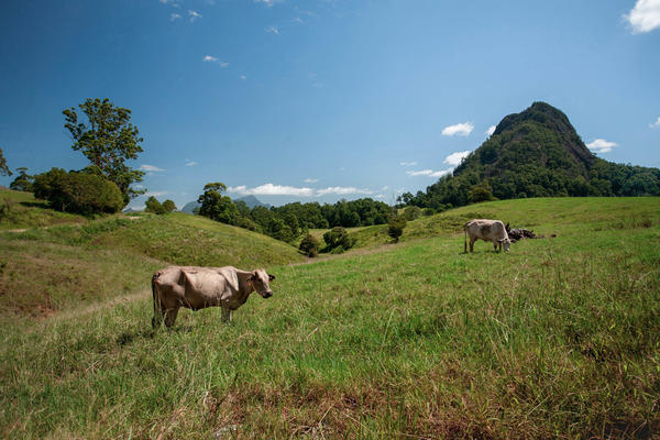 Cows graze near Murwillumbah, New South Wales, Australia. China has replaced the United States as the second-largest foreign owner of agricultural land in Australia. (The UK is No. 1.)