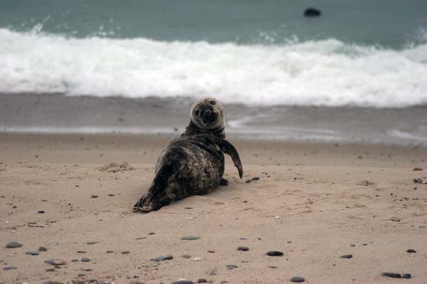 A gray seal at the Monomoy National Wildlife Refuge in Mass.