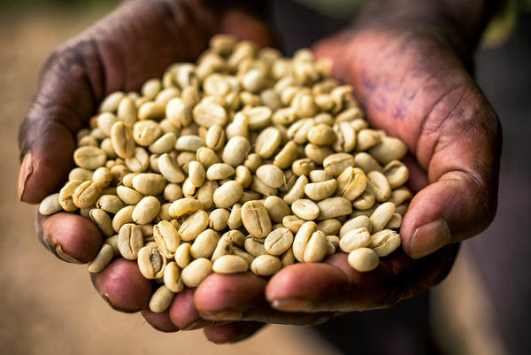 Coffee is thought to have originated in Ethiopia. <em>Coffea arabica</em>, or coffee Arabica, the species that produces most of the world's coffee, is indigenous to the country.