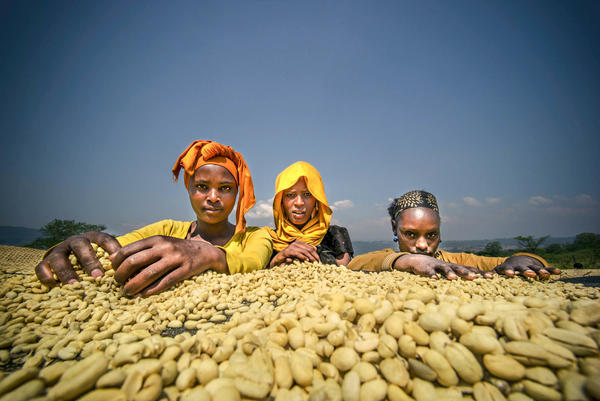 Growing coffee provides income for about 15 percent of Ethiopia's population and is the country's top export. Climate change is likely to shrink the land suitable for coffee, thereby also hurting the livelihoods of many people.