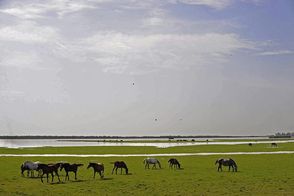 Wild horses graze at the Doñana National Park, in the Guadalquivir delta, in southern Spain. Last year, UNESCO threatened to put Doñana on its so-called 'Danger List' of World Heritage Sites where wildlife or conservation are at risk.