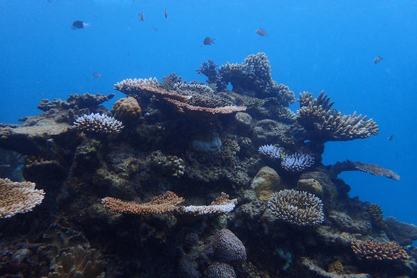 In many areas, oceans are warmer than at any time in recorded history. Coral is sensitive to temperature swings. Like a human body, a rise of a few degrees can lead to illness, and eventually, death.