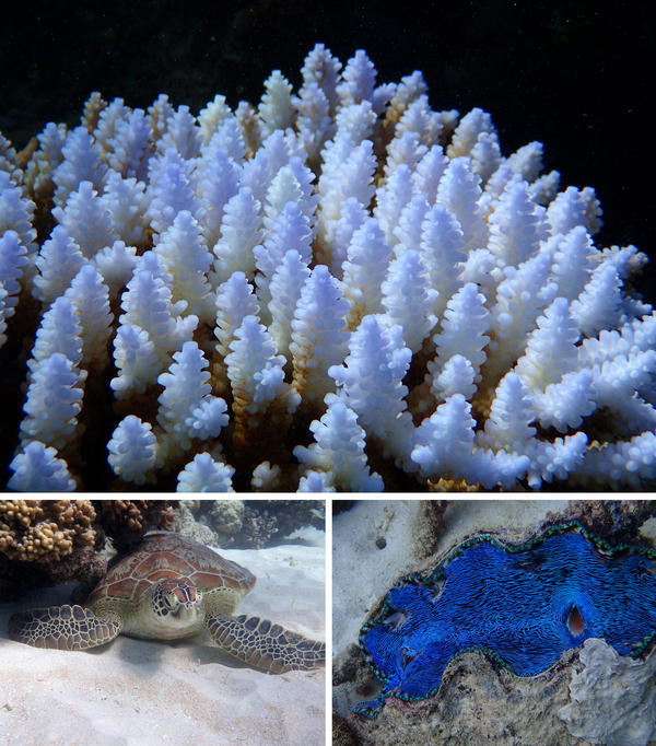 Top, bleached coral along the Great Barrier Reef. More than two-thirds of all the coral along the northernmost 400 miles of the reef bleached and died in the past 18 months. A sea turtle rests along the Great Barrier Reef, lower left, and a giant clam is seen along the outer reef, lower right.