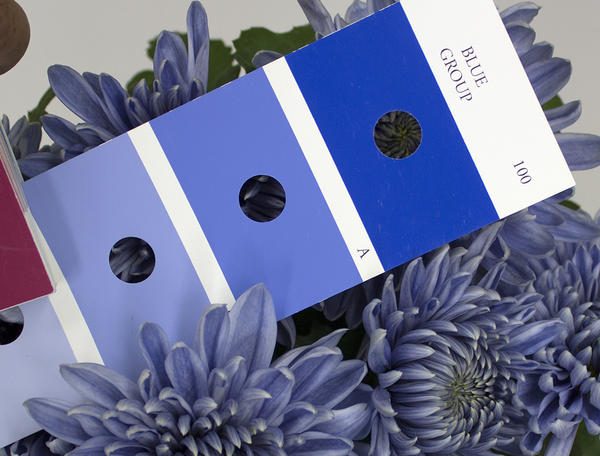 Flower color of the genetically engineered chrysanthemums defined as blue compared with the Royal Horticultural Society's color chart.