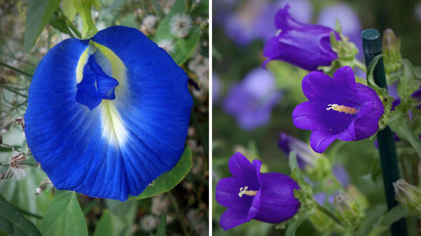 Scientists introduced genes from the butterfly pea (left) and the Canterbury bell (right) into the chrysanthemum.