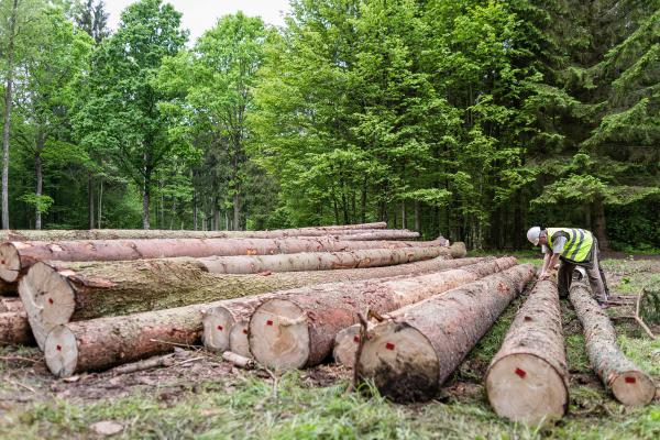 Deputy superintendent of the Hajnowka Forest District cuts of bark of spruce to find woodworm and woodworm larvas in Białowieża National Park.