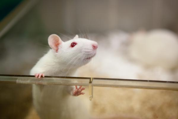 "Rats and people may rely on ""metamemory"" in a variety of different ways, scientists say. For a rat, it's likely about knowing whether you remember that predator in the distance; for people, knowing what we don't know helps us navigate social interactions."
