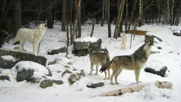 Gray wolves howl in Ely, Minn. On Tuesday an appeals court ruled they should retain their federally protected status.
