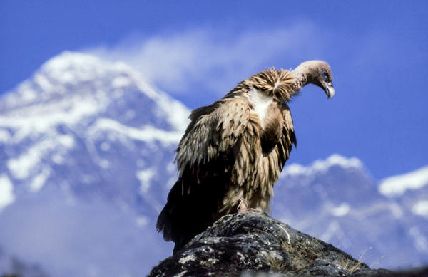 A Himalayan griffon vulture perches in the mountains. Nepal is home to nine species of vulture, four of which are critically endangered.