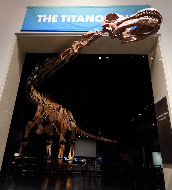 The massive dinosaur stands on display at the American Museum of Natural History in New York City last year. The plant-eating giant, which could not even fit in a single room, would have weighed more than 70 tons — or nearly the same as an empty space shuttle.