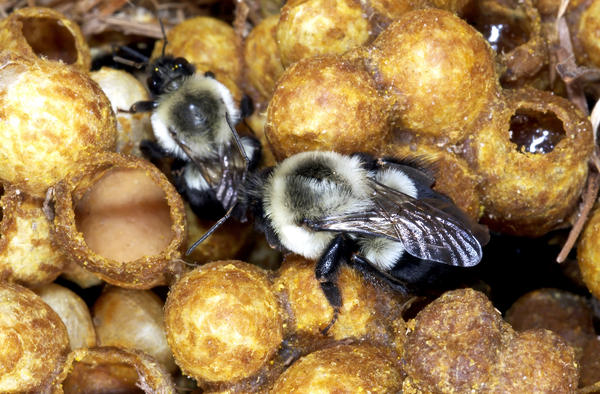 A new study is adding to evidence that a popular class of pesticides can harm wild bees, like bumblebees.