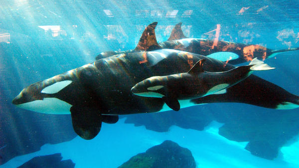 Killer whale Kasatka swims with a calf in 2004 at SeaWorld in San Diego.