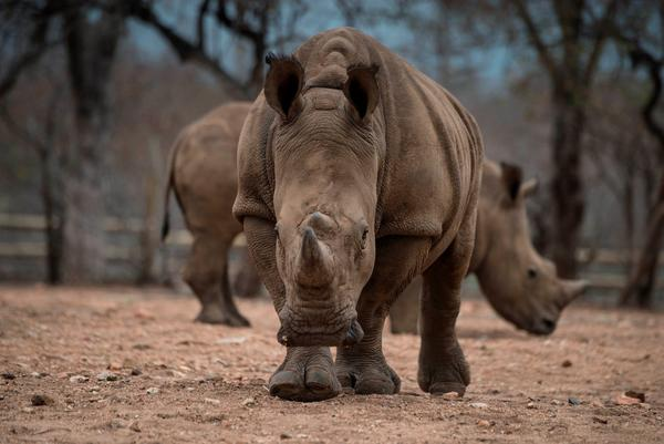 Protected rhinos roam and feed in an enclosed precinct at the Kahya Ndlovu Lodge on Sept. 25, 2016 in Hoedspruit, in the Limpopo province of South Africa. (Mujahid Safodien/AFP/Getty Images)