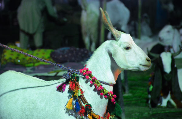 Goats at a market in Karachi, Pakistan, are decorated ahead of Eid al-Adha celebrations.