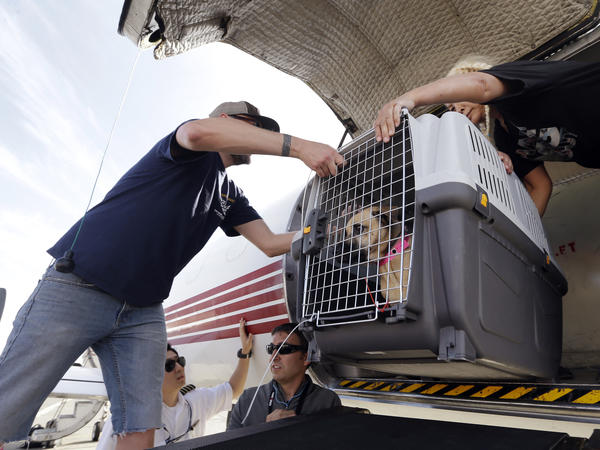 Volunteers unload one of 35 dogs flown from Texas shelters to Seattle in Hurricane Harvey's aftermath. The dogs arriving in Seattle were already in Texas shelters when Harvey hit and are being transferred so animals displaced by the flooding can be cared for until they can be reunited with their families.