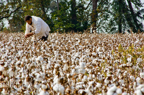 """One of Twitty's projects is his """"Southern Discomfort Tour"""" — a journey through the """"forgotten little Africa"""" of the Old South. He picks cotton, chops wood, works in rice fields and cooks for audiences in plantation kitchens while dressed in slave clothing to recreate what his ancestors had to endure."""