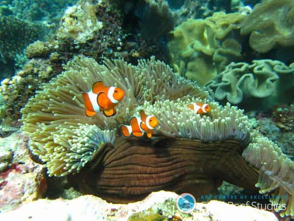 An orange clownfish, <em>Amphiprion percula</em>, lives in symbiosis with a host anemone on the Great Barrier Reef.