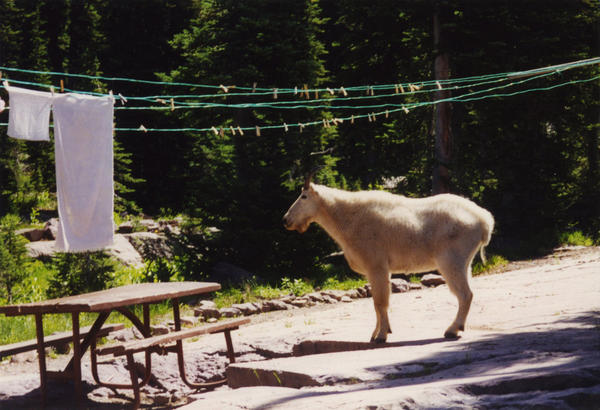 A mountain goat roams through a campsite near the Sperry Chalet.