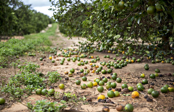 Fallen fruit sits on the ground below orange trees in Frostproof, Fla., U.S. Hurricane Irma destroyed almost half of the citrus crop in some areas.