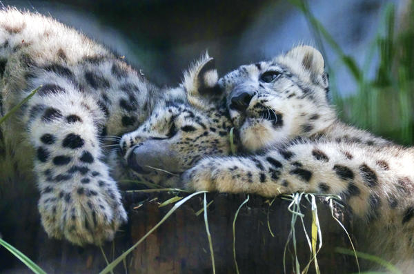 Two snow leopard cubs play in their enclosure at the Los Angeles Zoo on Tuesday during their public debut.