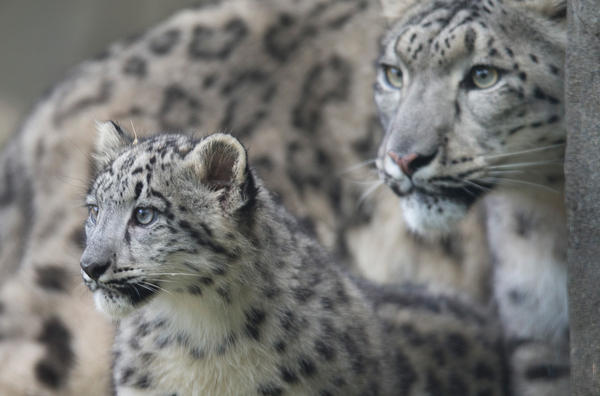 Sarani, a female snow leopard, explores her habitat with one of her cubs at the Brookfield Zoo in Illinois in 2015.