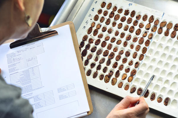 The first step in analyzing the quality of a producer's cocoa sample is the cut test. This visual test allows the team to evaluate physical defects such as insect damage, mold, fermentation percentage and more.