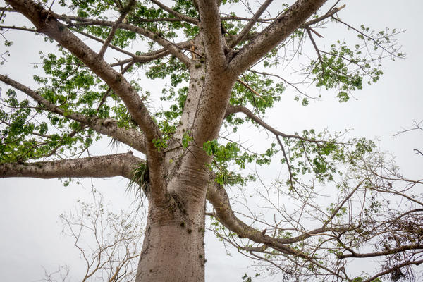 A ceiba tree is showing signs of new growth at the International Institute of Tropical Forestry located in the University of Puerto Rico's Botanical Gardens.