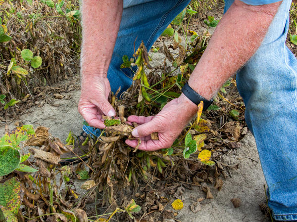 Damage to soybean plants and other crops has led to arguments and strain between neighbors.