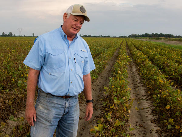 David Wildy, who farms near Manila, Ark., did not plant the new dicamba-tolerant soybeans. By midsummer, his plants were bent and stopped growing.