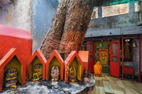 At the Dukh Haran Hanuman Temple in Varanasi, India, people pray to the monkey god Hanuman, who is believed to be embodied in this pipal tree. Devotees leave offerings, rub vermilion paste into the tree's bark and wrap thread around the tree's base.
