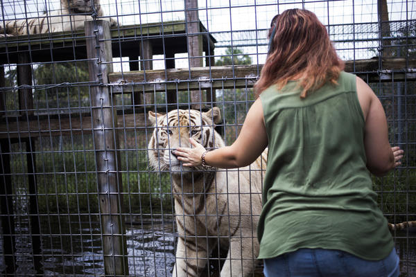 Volunteer Michelle Augustyn greets one of the twin white tigers at Kowiachobee Animal Preserve, which is located in the residential area of Golden Gate Estates in Naples, Fla.