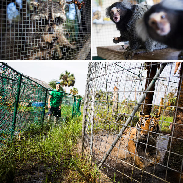 Dexter the raccoon peers out of his cage. Benny and Joon, common marmosets, eat a snack. Volunteer Tim Greiser plays with Sabeena during a break.