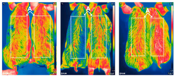 Scientists have used a new gene-editing technique to create pigs that can keep their bodies warmer, burning more fat to produce leaner meat. Infrared pictures of 6-month-old pigs taken at zero, two, and four hours after cold exposure show that the pigs' thermoregulation was improved after insertion of the new gene. The modified pigs are on the right side of the images.