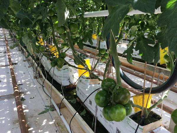 NatureSweet grows tomatoes using cocoa peat. (Casey Kuhn/KJZZ)