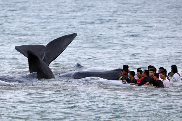 Government workers, residents and environmentalists try to help to a pod of sperm whales stranded in shallow water in Aceh Besar, Aceh, Indonesia on Monday.