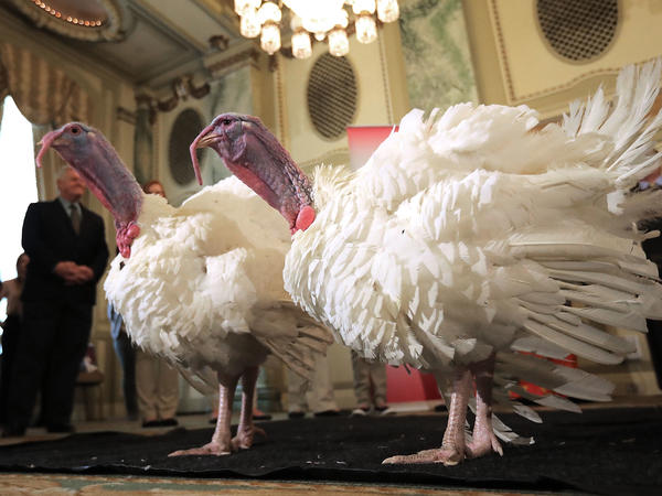 "Drumstick and Wishbone, the National Thanksgiving Turkey and its alternate ""wingman,"" are introduced Monday during an event hosted by The National Turkey Federation at the Williard InterContinental in Washington, D.C. One of the 40-pound fowl will be presented to President Trump at the White House on Tuesday, when he will ceremoniously ""pardon"" it."