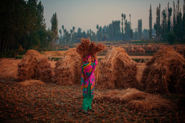 A woman farmer makes hay bales in Kashmir, India. In India, women comprise about a third of the agricultural labor in developing countries.