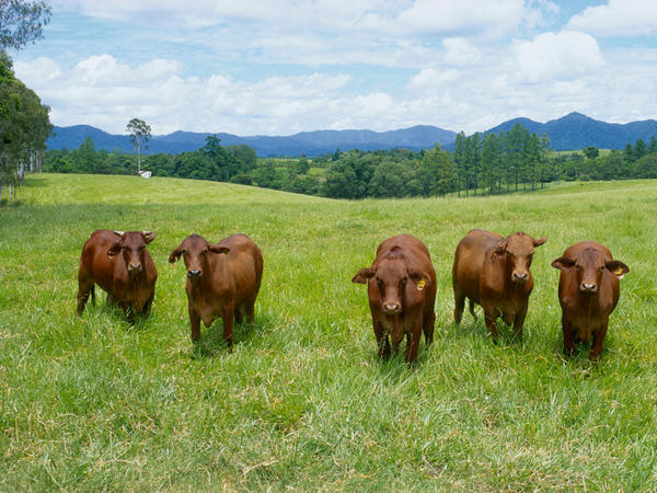 Brahman cattle graze in a field in Innisfail, Queensland, Australia. Researchers can estimate the greenhouse gas emissions and land used to produce various foods in different parts of the world. They've used that data to calculate the environmental impact of a shift in what people eat.